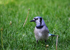 Blue Jay. Wandering in the yard Royalty Free Stock Images