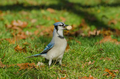 A Blue Jay with a whole peanut Stock Photo