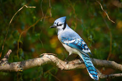 Blue Jay on Willow Royalty Free Stock Photography