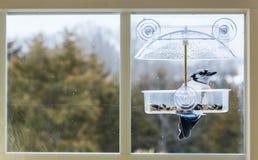 Blue Jay in window bird feeder Stock Photos