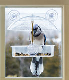 Blue Jay in window bird feeder Stock Photography