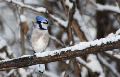 Blue Jay in winter Royalty Free Stock Photography