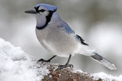 Blue Jay on a Winter Branch Royalty Free Stock Photography