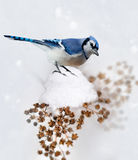 Blue Jay In Winter Stock Image