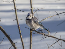 Blue Jay in winter snow Royalty Free Stock Images
