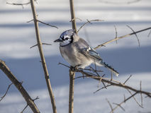 Blue Jay in winter snow Stock Photos