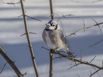 Blue Jay in winter snow Royalty Free Stock Photo