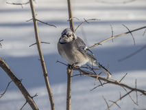Blue Jay in winter snow Royalty Free Stock Image