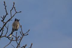 Blue Jay in Winter Sun Stock Image