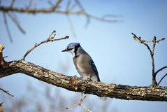 Blue Jay Winter Tree Branch. A photograph of a blue jay perched on a tree branch royalty free stock photos