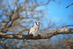 Blue Jay Winter Tree Branch. A photograph of a blue jay perched on a tree branch stock image