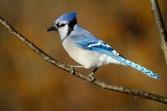 Blue Jay With Autumnal Backdrop Royalty Free Stock Images