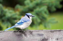 Blue jay on wood fence Royalty Free Stock Photos
