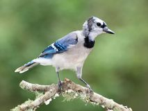 Blue Jay. A young Blue Jay in Mississippi, USA Royalty Free Stock Image