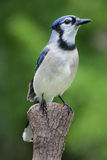 Blue Jay. A young Blue Jay perched on a pine tree stump Royalty Free Stock Photography