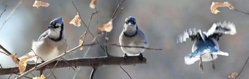 Blue Jays в ветви Стоковая Фотография