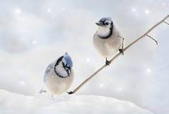 2 Blue Jays в зиме Стоковая Фотография RF