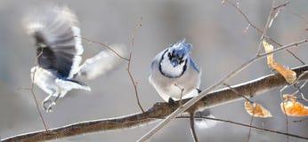Blue Jays в природе Стоковые Фото