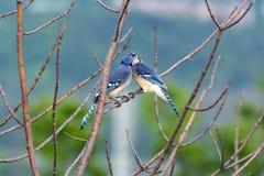 2 Blue Jays на ветви, одна деля еда со своей ответной частью Стоковое Фото