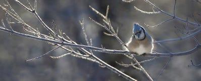 Blue Jays отдыхая в природе Стоковое Изображение