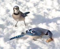 Blue Jays Стоковые Фотографии RF