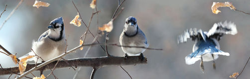 Blue jays in branch Stock Photography