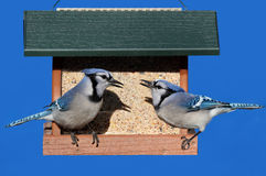 Blue Jays on a Feeder Royalty Free Stock Photography