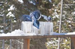 Blue Jays on Ice Lantern Feeders Stock Images