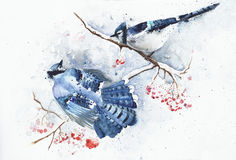 Blue Jays In Winter Watercolor Painting Greeting Card Royalty Free Stock Photo