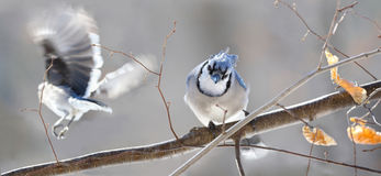 Blue jays in nature Stock Photos
