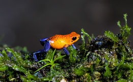 Blue jeans Dart Frog , Costa Ric Stock Images