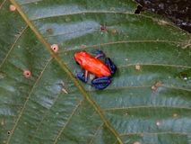 Blue jeans dart frog red Costa Rican frog royalty free stock image