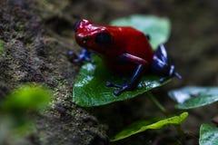 Blue jeans Frog or Strawberry Poison dart Frog - Dendrobates pum Stock Images