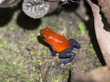 Blue Jeans, Poison Dart Frog Royalty Free Stock Images