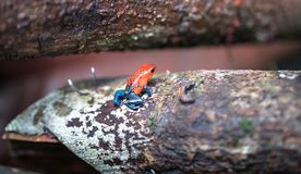 Blue jeans poison dart frog Oophaga pumilio stock images