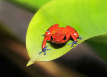 Blue jeans or strawberry dart frog,costa rica. Strawberry or blue jeans dart frog on green leaf, lake arenal, costa rica, latin america. beautiful but poisonous Stock Image