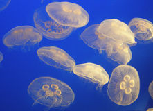 Blue jelly fish Stock Image