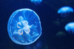 Blue jelly fish Stock Photo