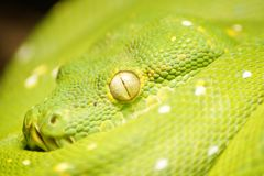 face and eyes of beautiful green snake stock photo