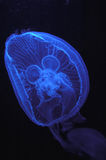 Blue jellyfish Stock Image