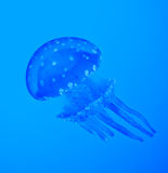 Blue jellyfish. Futuristic blue jellyfish under water Stock Photography