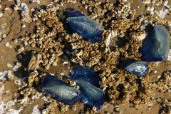 Blue jellyfish on barnacle Stock Photo