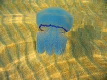 Blue jellyfish in shallow water