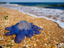 Blue jellyfish Royalty Free Stock Photography