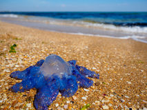 Blue jellyfish Royalty Free Stock Photos