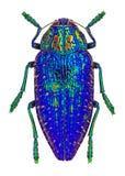 Blue jewel beetle from Madagascar (Polybothris sumptuosa gema) Stock Photography