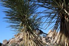 Blue. Joshua Tree, California - Wild Life Royalty Free Stock Image