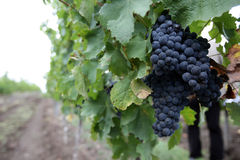 Blue juicy grapes. Hanging on the vineyard Stock Images