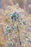 Blue juniper on bush Stock Images