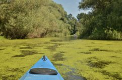 Blue kayak in Danube delta. Bow of a blue kayak and green water surface covered by algae. Lush summer vegetation in Danube delta. Romania stock photo